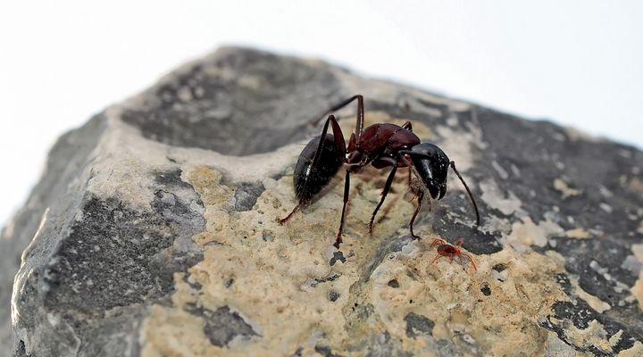 Ameise im Kampf mit einer Milbe! - Une fourmi se défend contre un acarien rouge...