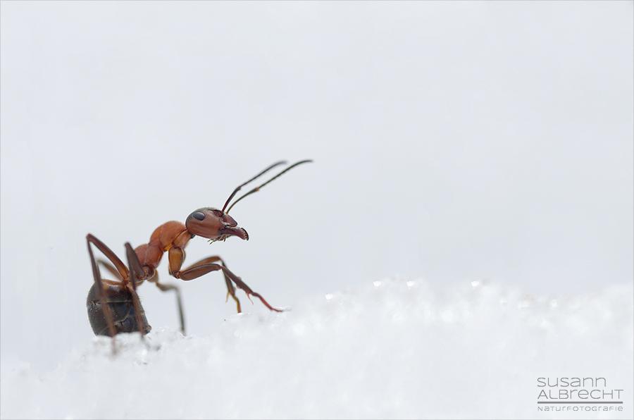 Ameise im Schnee