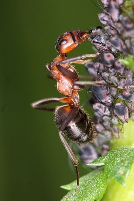 Ameise melkt Blattläuse