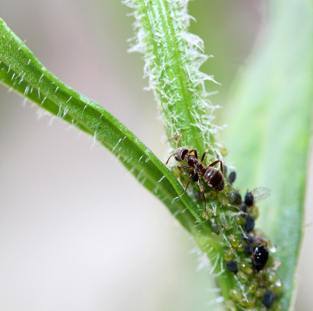 Ameise mit Blattläusen