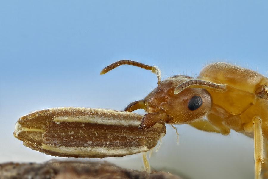 Ameise mit Samenkorn