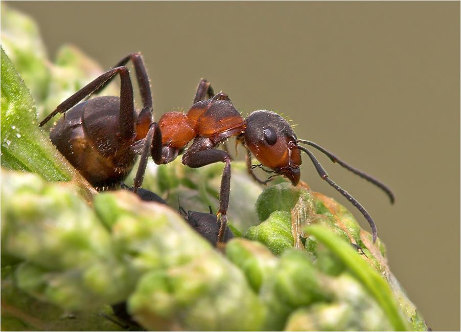 Ameise mit versteckter Beute