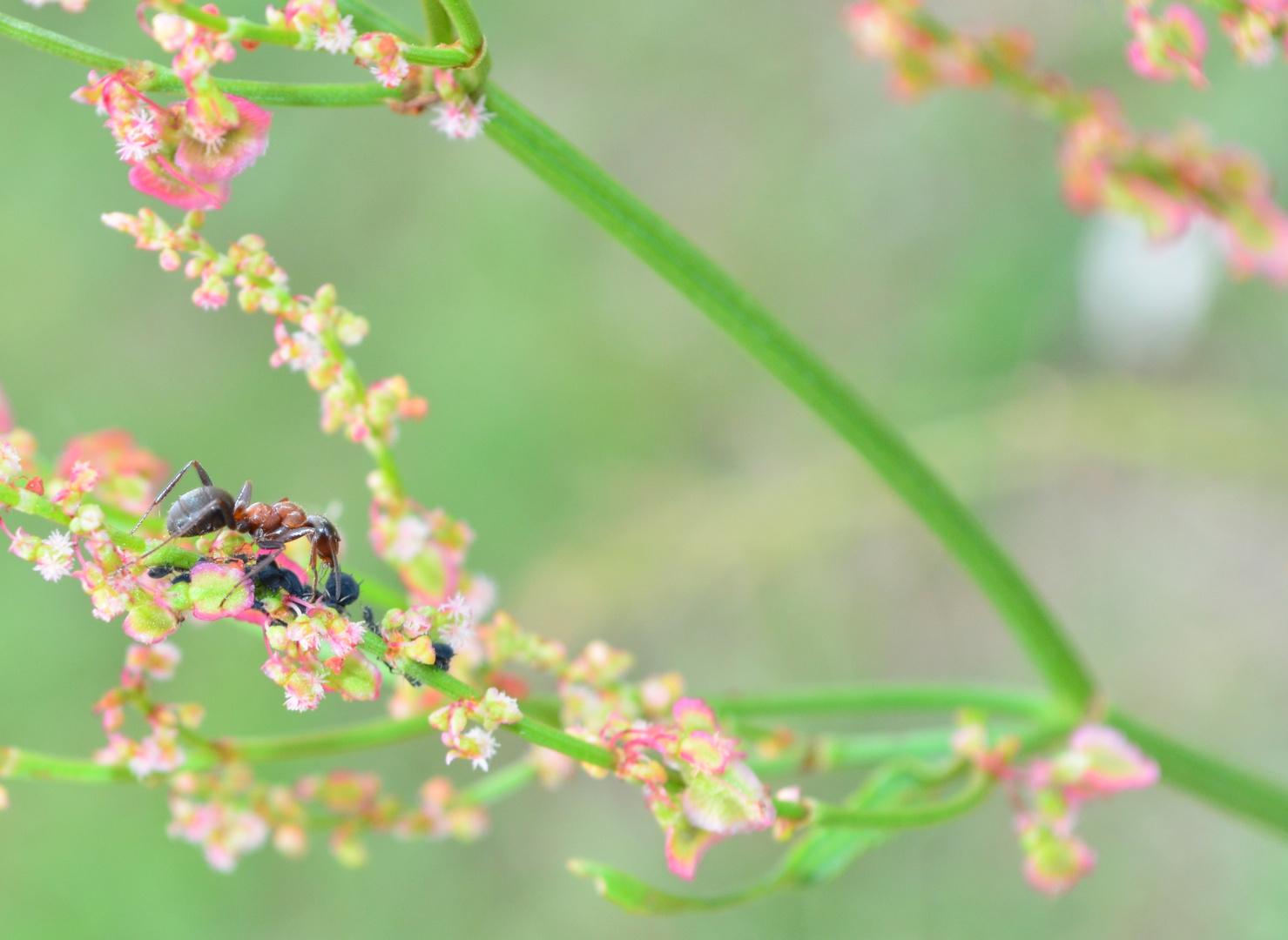 Ameise verspeist Blattläuse