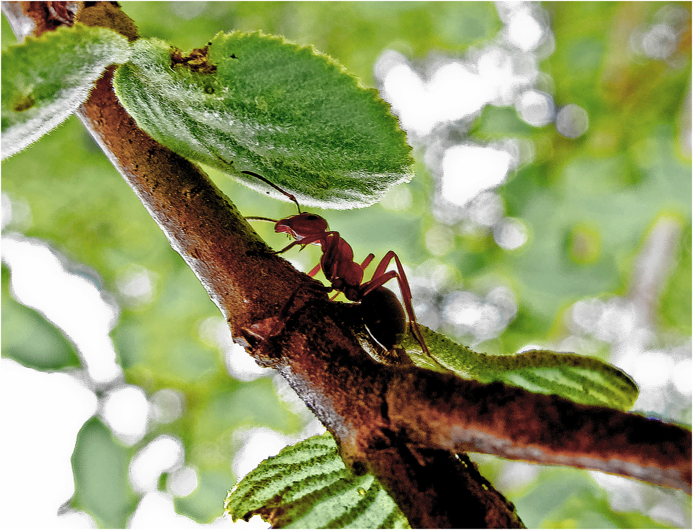 ameisen auf dem baum foto bild tiere wildlife insekten bilder auf fotocommunity. Black Bedroom Furniture Sets. Home Design Ideas