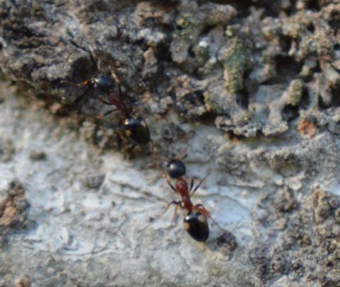 Ameisen auf einer Birke