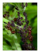 Ameisen beim Blattlausmelken