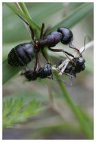 Ameisen im Dreikampf