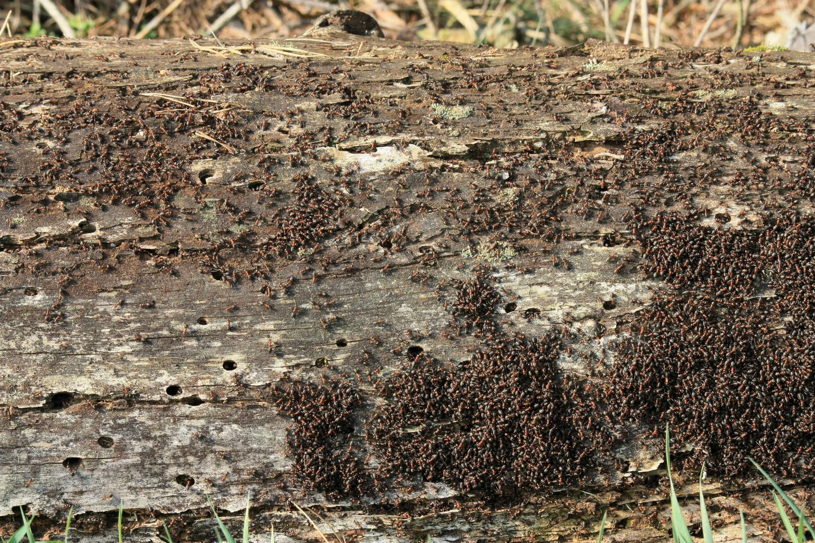 Ameisen in der Sonne