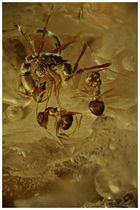 Ameisen in Kopal