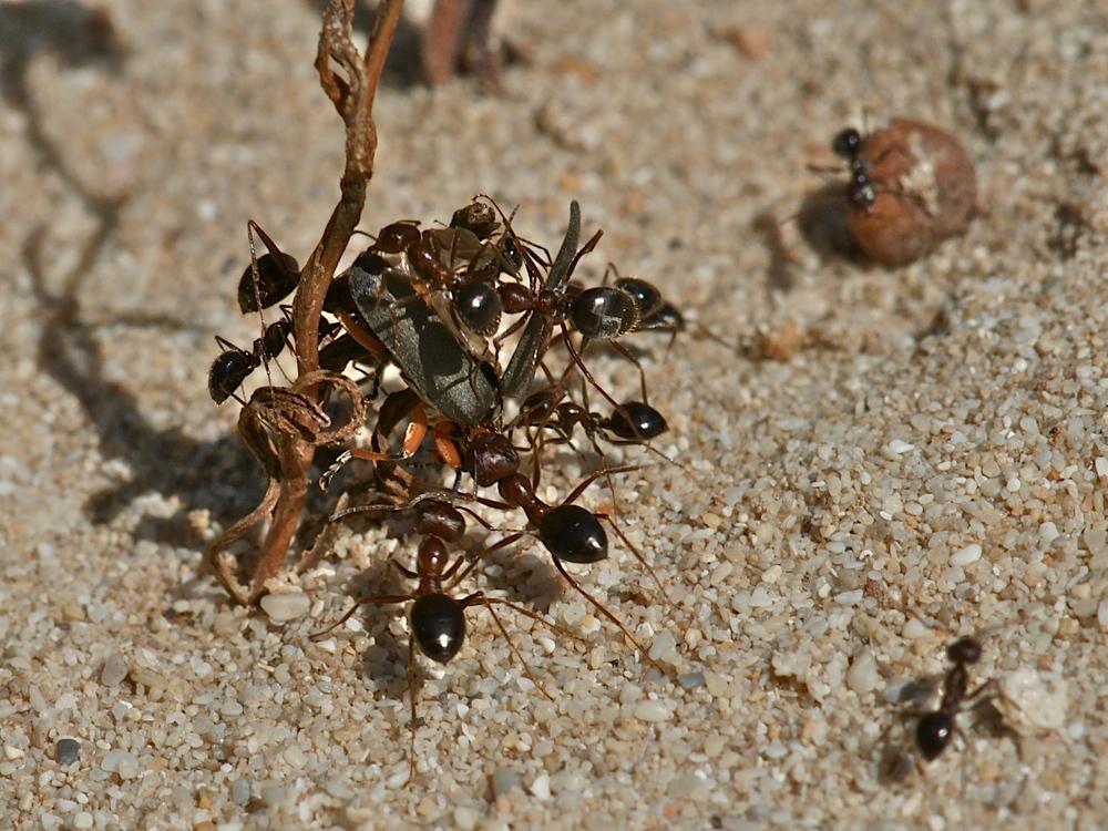 ameisen machen beute 1 foto bild tiere wildlife insekten bilder auf fotocommunity. Black Bedroom Furniture Sets. Home Design Ideas