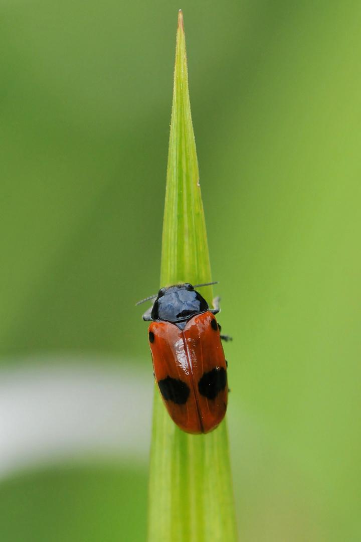 Ameisen Sackkäfer (Clytra laeviuscula) Draufsicht