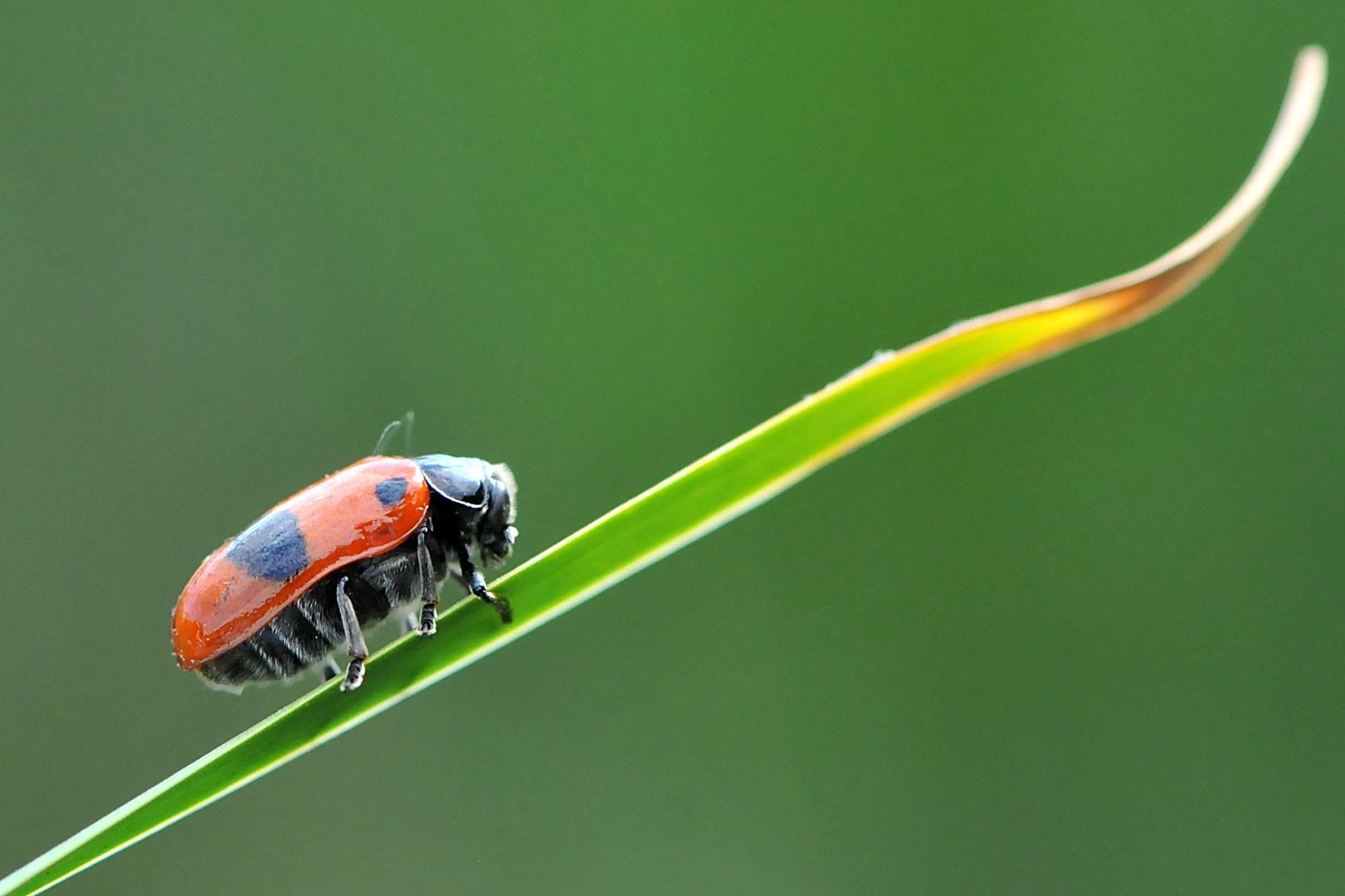 Ameisen Sackkäfer (Clytra laeviuscula) Seite
