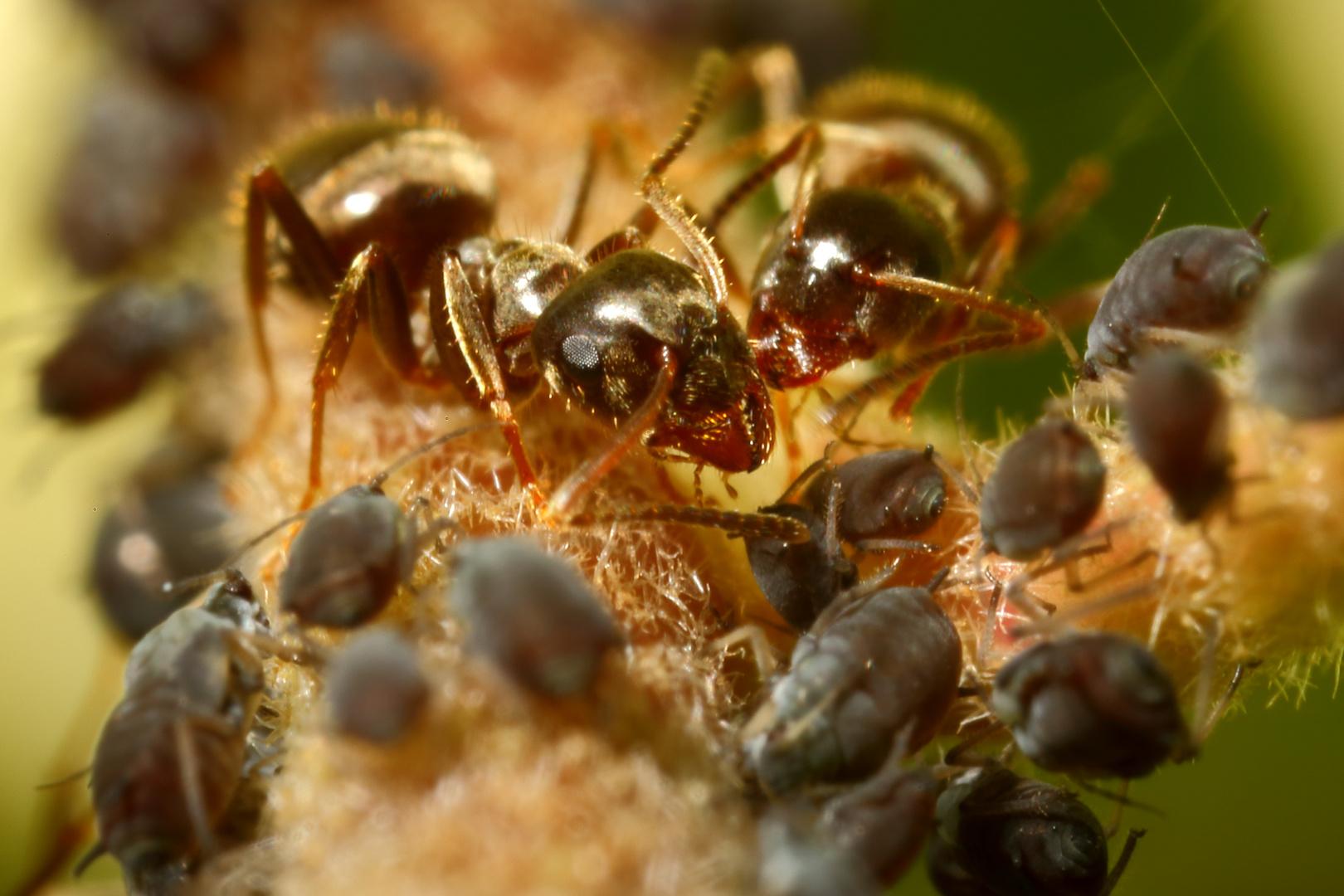 Ameisen und Blattläuse - Freunde fürs Leben (IV)