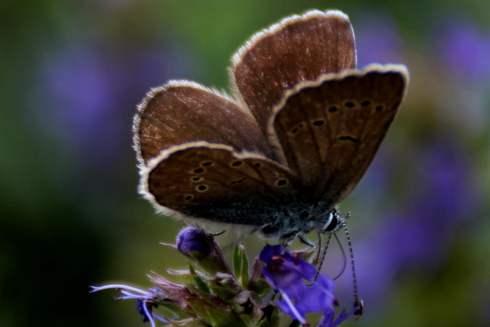 Ameisenbläuling - Heller Wiesenknopf