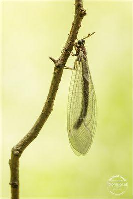 Ameisenjungfer