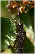 Ameisenjungfer - Portrait