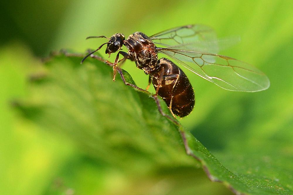 ameisenk nigin foto bild tiere wildlife insekten. Black Bedroom Furniture Sets. Home Design Ideas