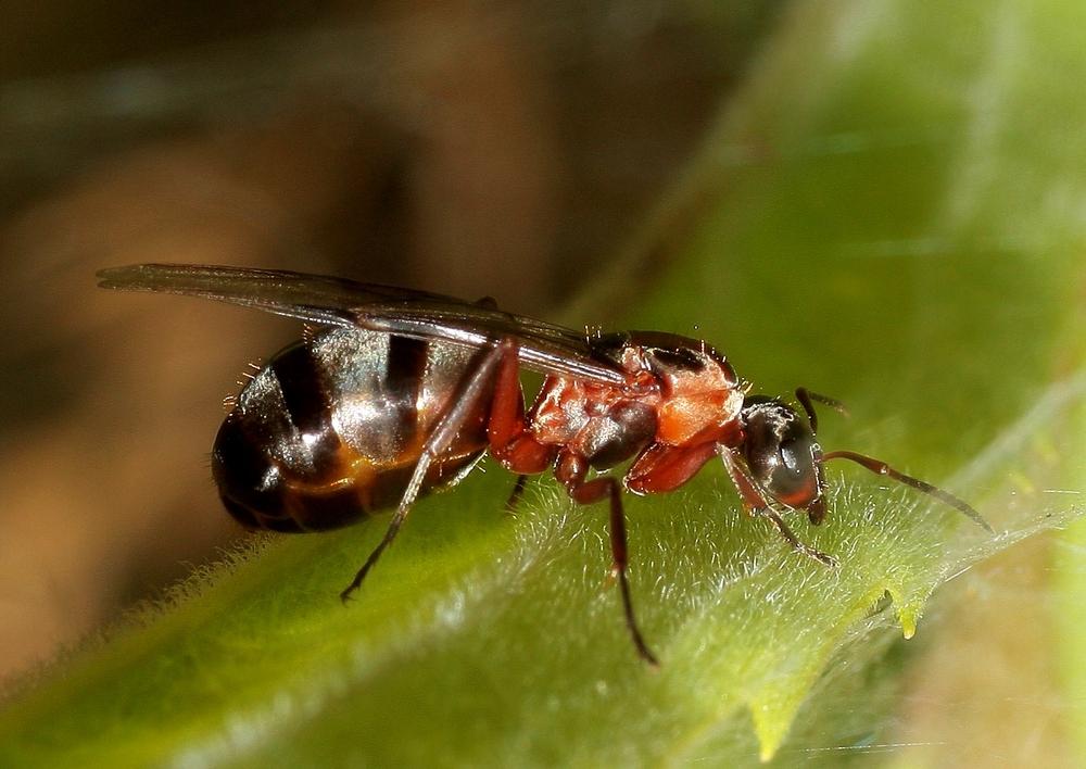 Ameisenkönigin