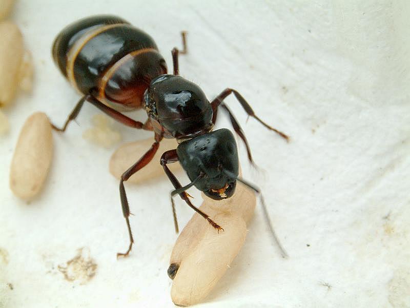 Ameisenkönigin bei Brutpflege