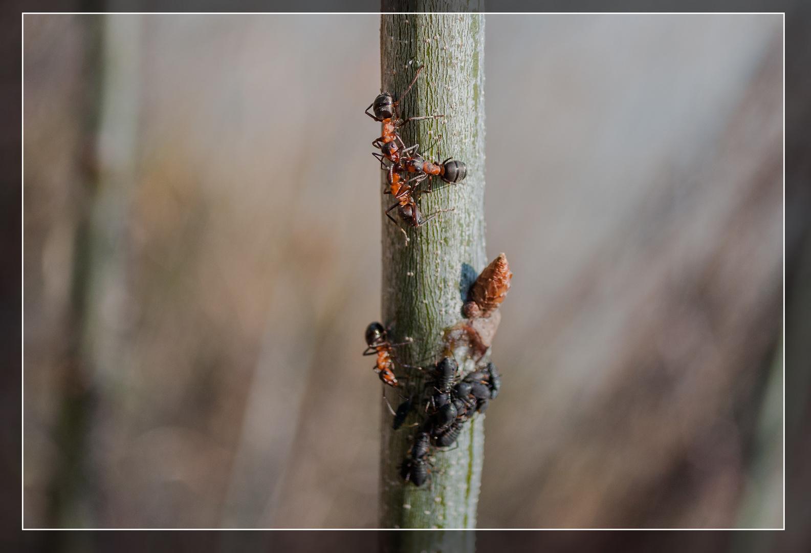 Ameisenkonferenz - geheime Absprache