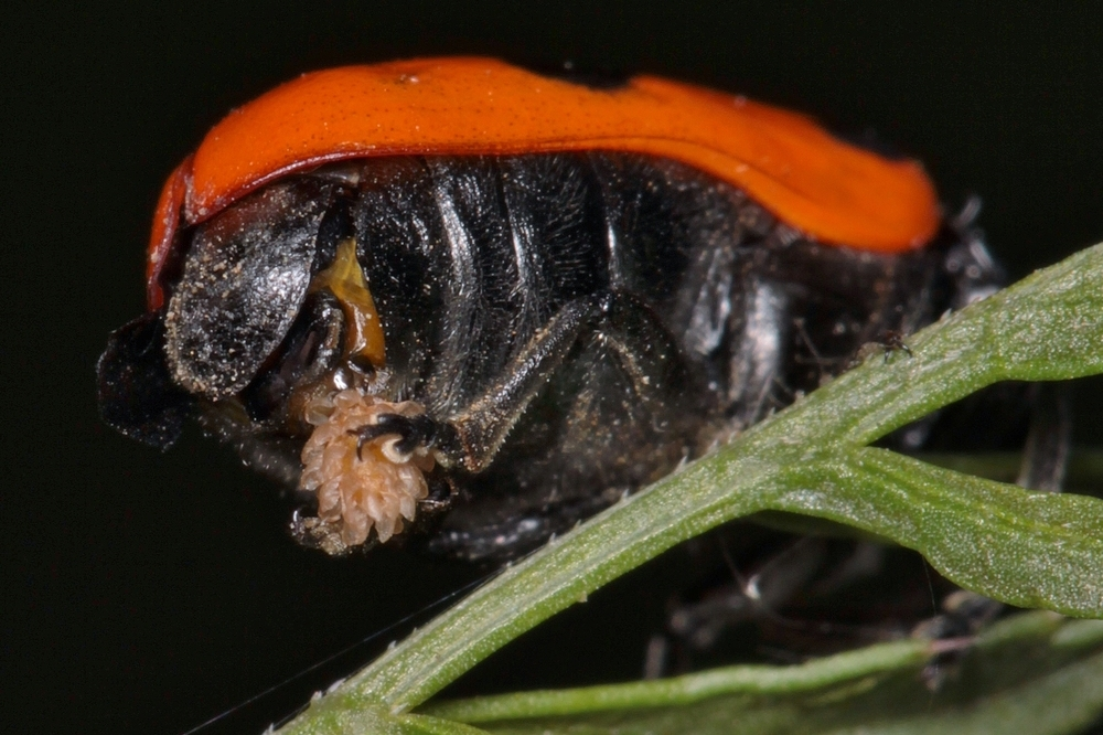 Ameisensackkäfer, Clytra laeviuscula,