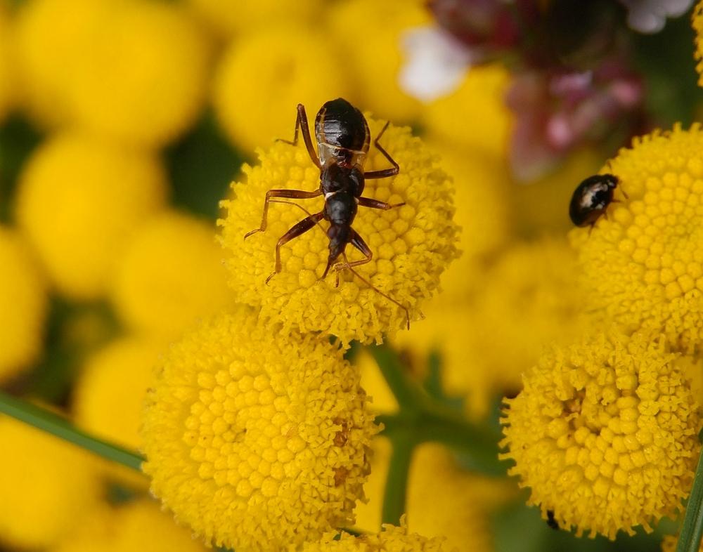 Ameisensichelwanze (Himacerus mirmicoides) - Larvenstadium