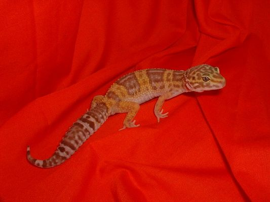 amelanistische Leopardgecko