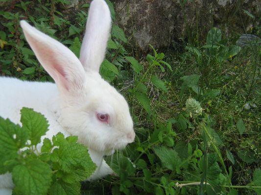 amélie, le lapin blanc