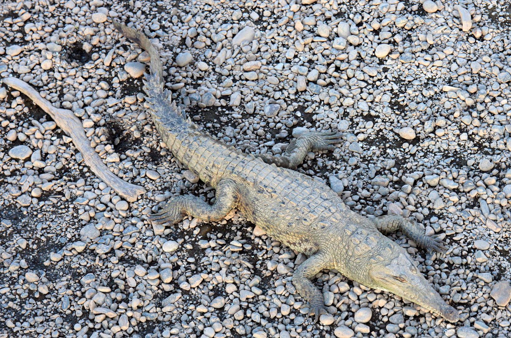 American Crocodile (Crocodylus acutus) , Rio de Grande Tarcoles, Costa Rica