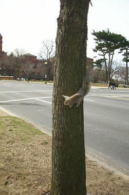 American Eichhörnchen