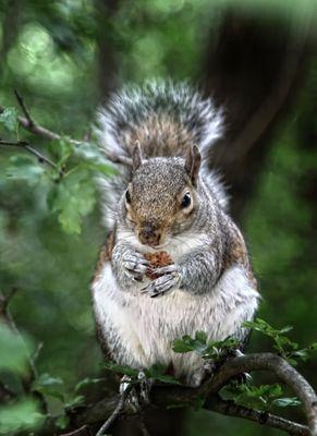 American Squirrel