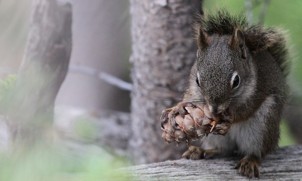 American squirrel destroying the cone`s soul