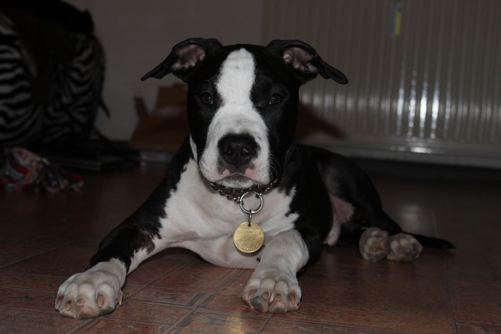 American Staffordshire Terrier 4 Monate