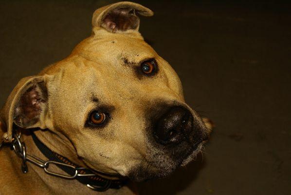 american Staffordshire Terrier zeigt sein wahres Gesicht......