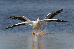 American White Pelican X-Wing landing