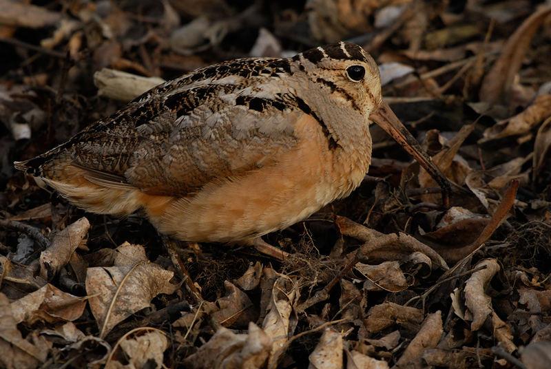 American Woodcock (Scolopax minor)