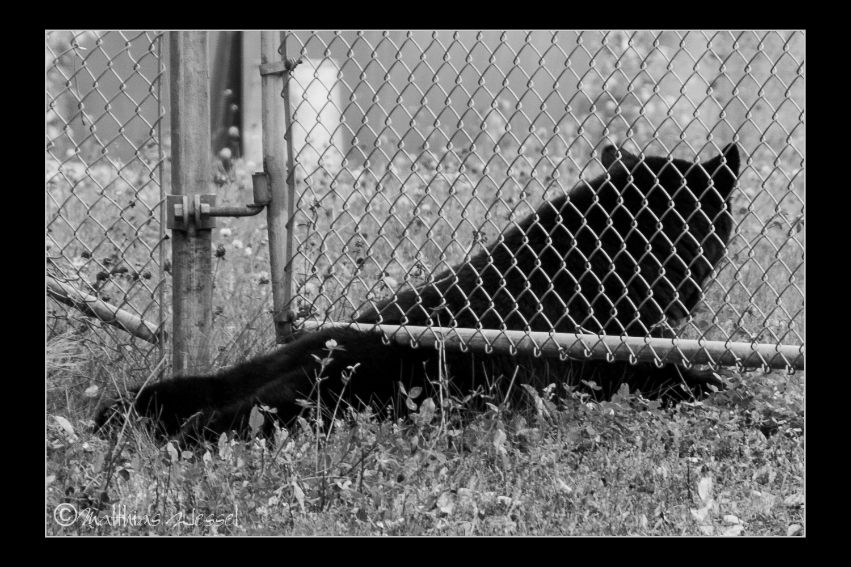 Amerikanische Schwarzbär (Ursus americanus), auch Baribal