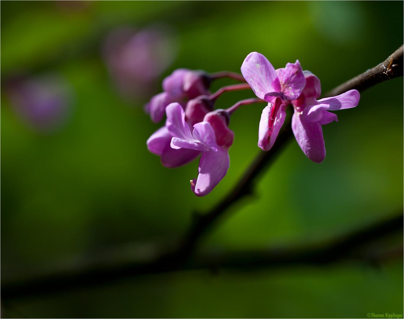 Amerikanischer Judasbaum (Cercis occidentalis)
