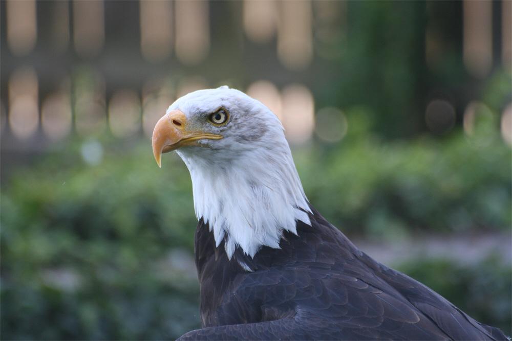 Amerikanischer Seeadler / American Sea Eagle