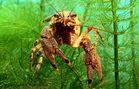 Amerikanischer Süßwasserkrebs - Orconectes limosus