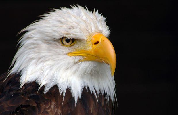 Amerikanisches Wappentier