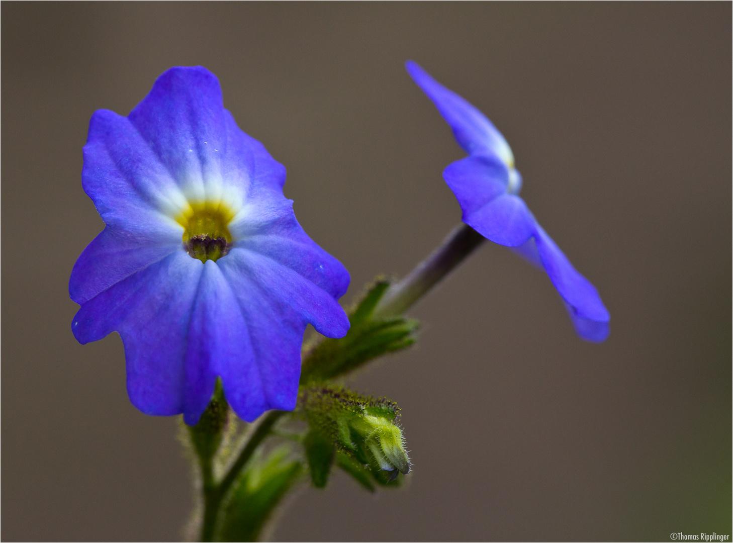 Amethyst Veilchenstrauch (Browallia americana)...