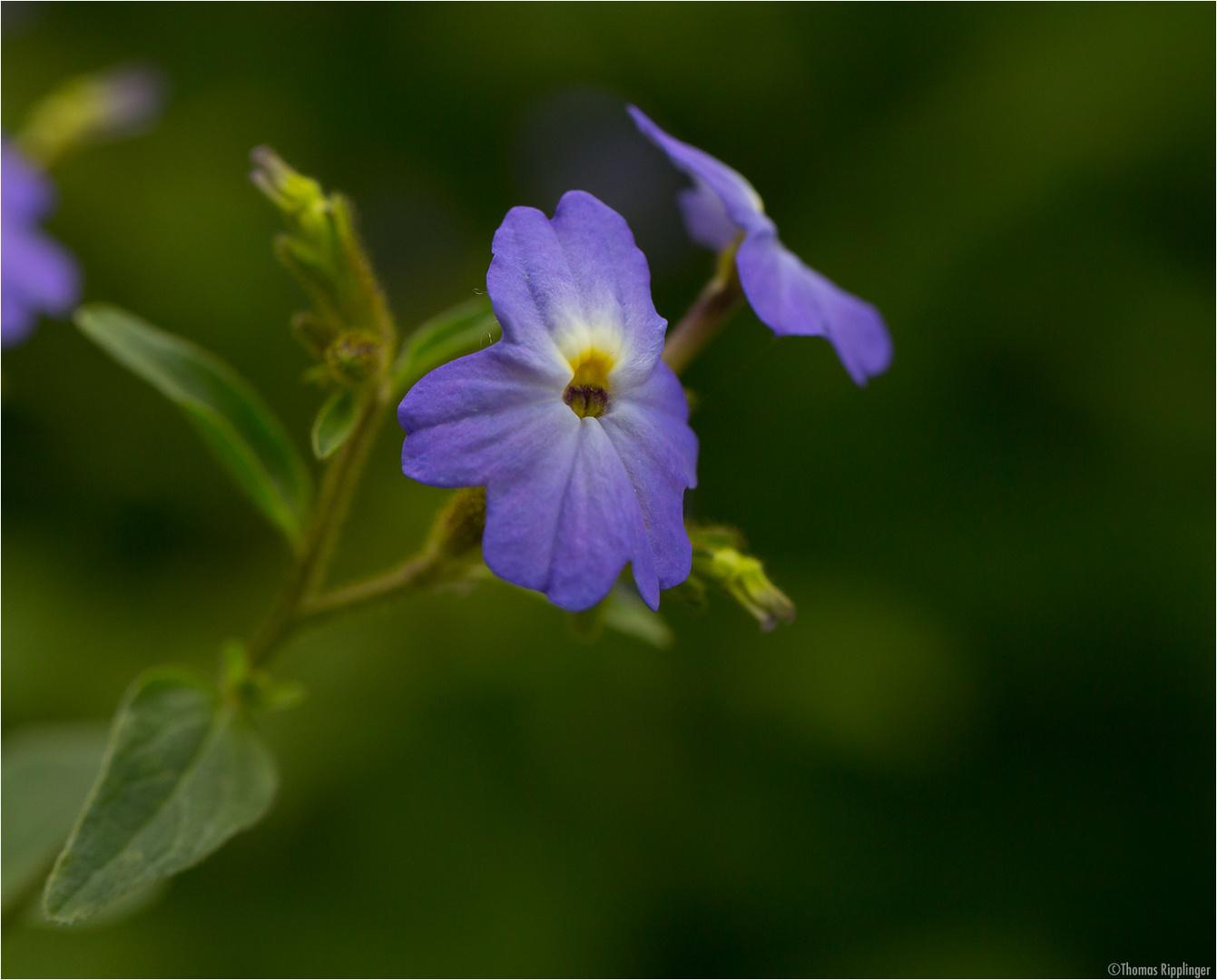 Amethyst Veilchenstrauch (Browallia americana)