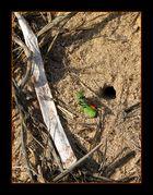 Ammophila Sabulosa
