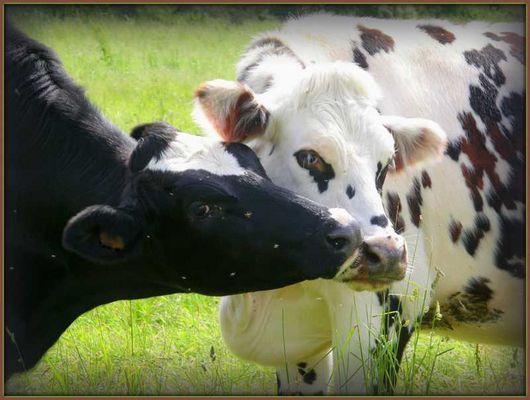 amour vache !!