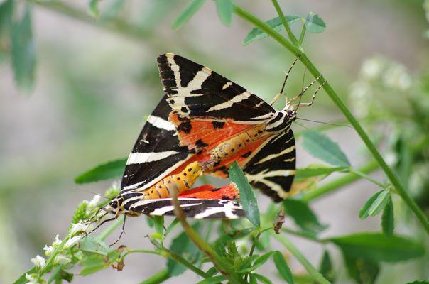 Amours de papillons