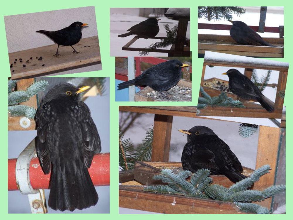 amsel am vogelhaus foto bild tiere wildlife wild. Black Bedroom Furniture Sets. Home Design Ideas