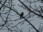 Amsel auf Kirschbaum