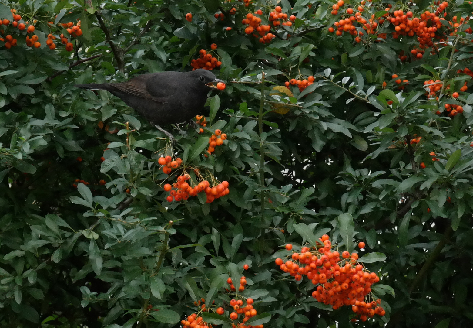 Amsel im Herbst