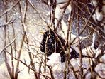 Amsel im Winter